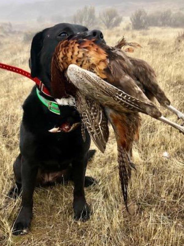 Hunting dog - Sage
